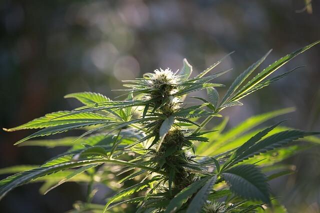 Medyczna marihuana – czy działa?